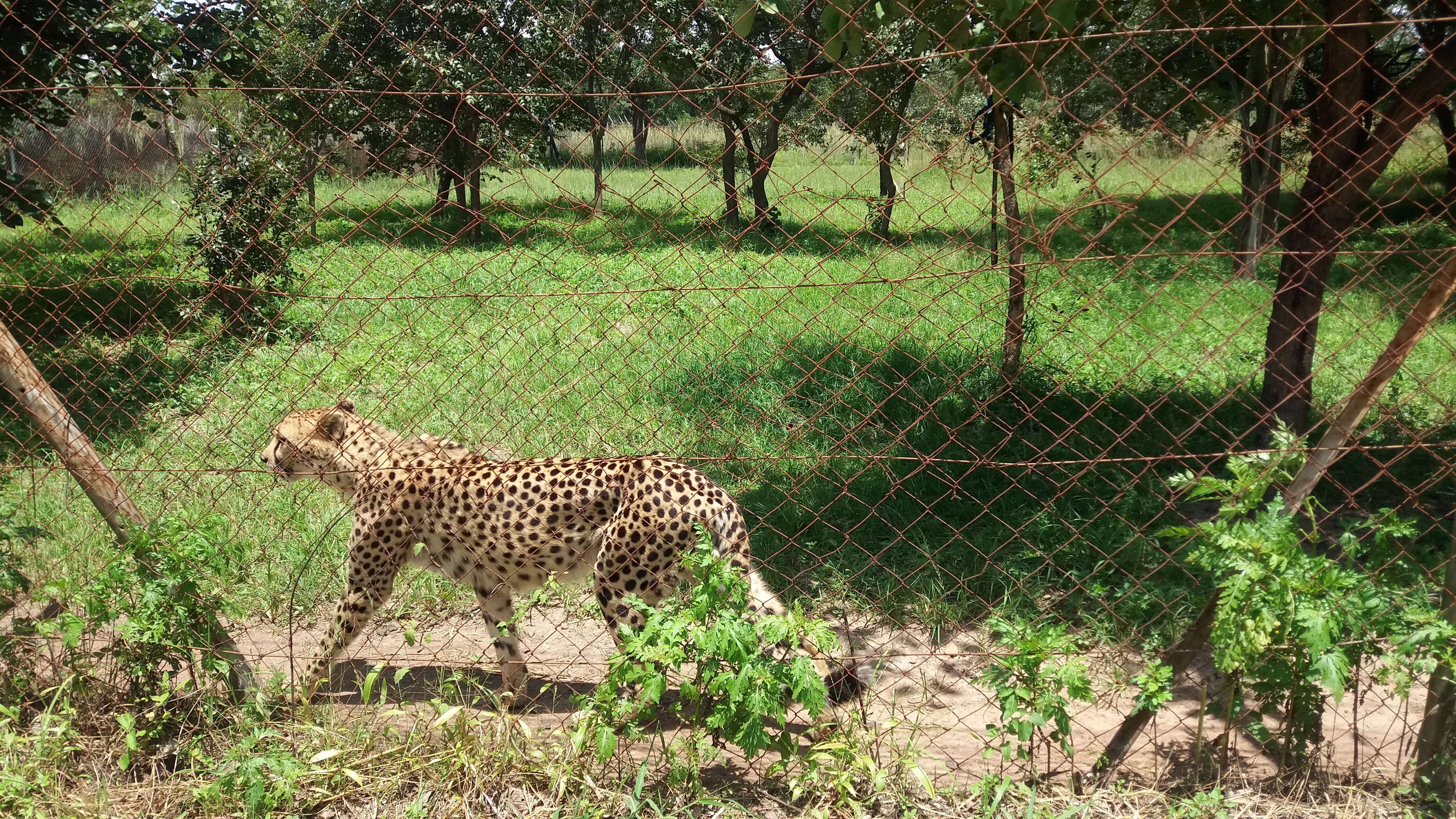 cheetah-animal-spots