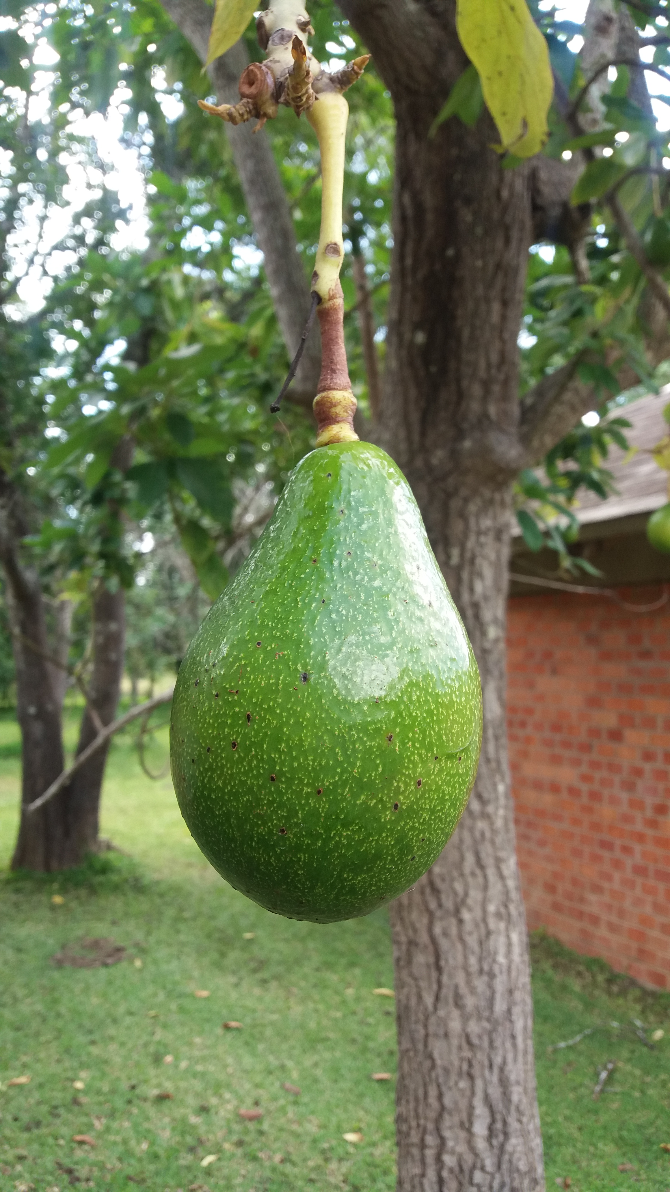 avocado-tree-green