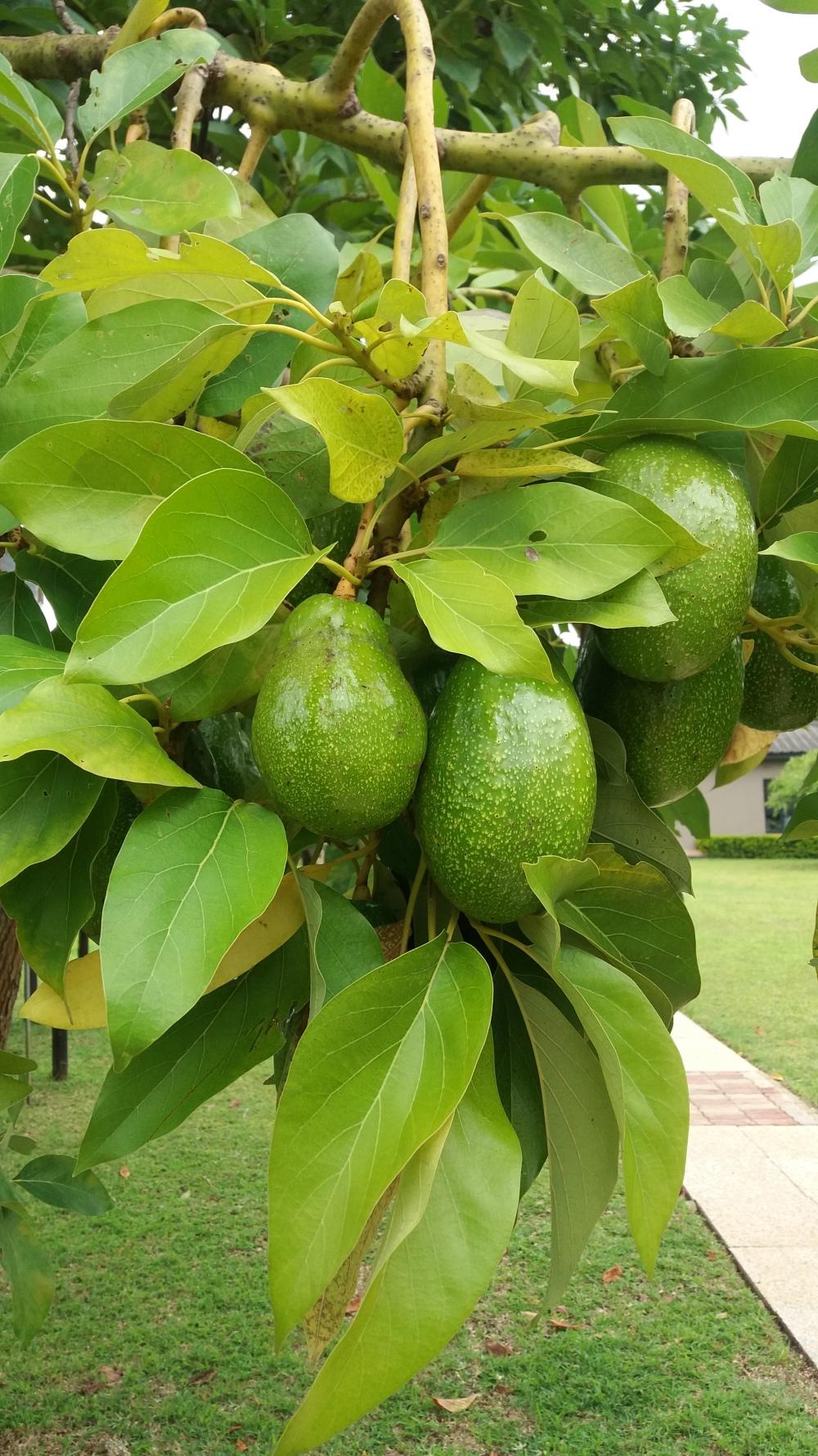 avocado-tree-green
